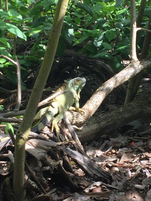 Le iguane di Johnny Cay